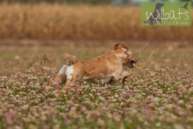 Labrador Retriver von der Mohnenfluh